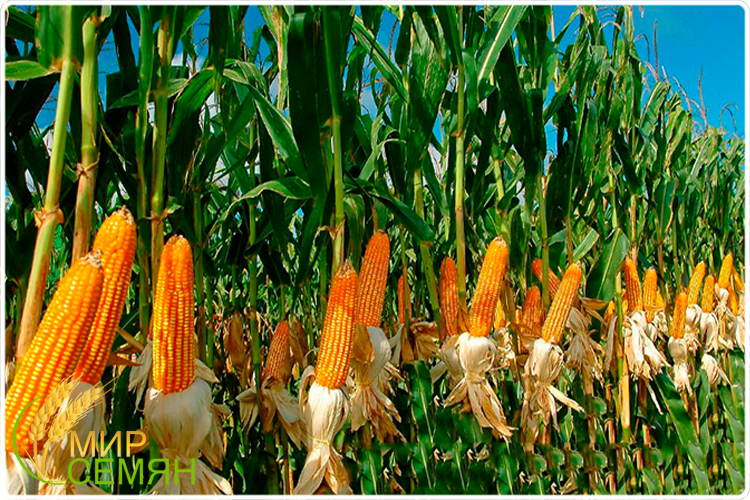 грядка кукурузы
