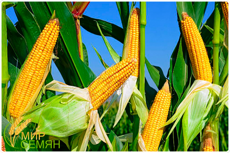 как растёт кукуруза
